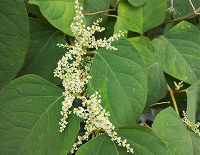 Homeowners lose more than £4,000 due to Japanese knotweed infestation